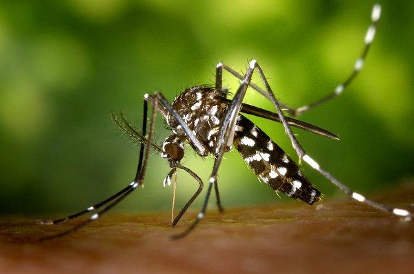 moskito drachenblut